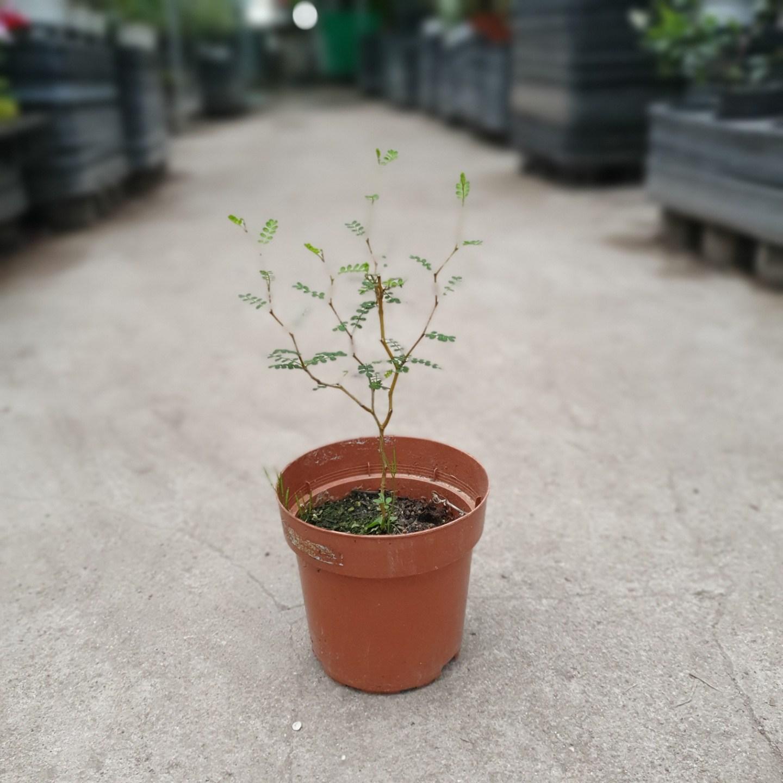 식물공장 마오리 소포라 소품 20~40cm 89 코로키아 야생화 공기정화식물 관엽식물