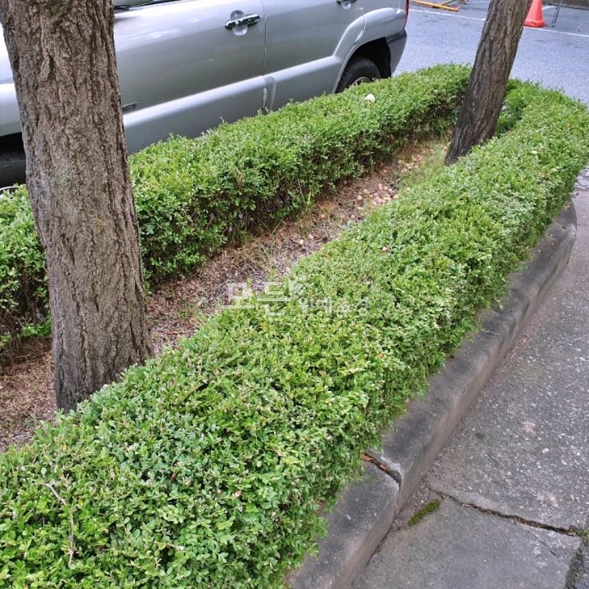 모든원예조경 회양목나무(키30cm)5주묶음