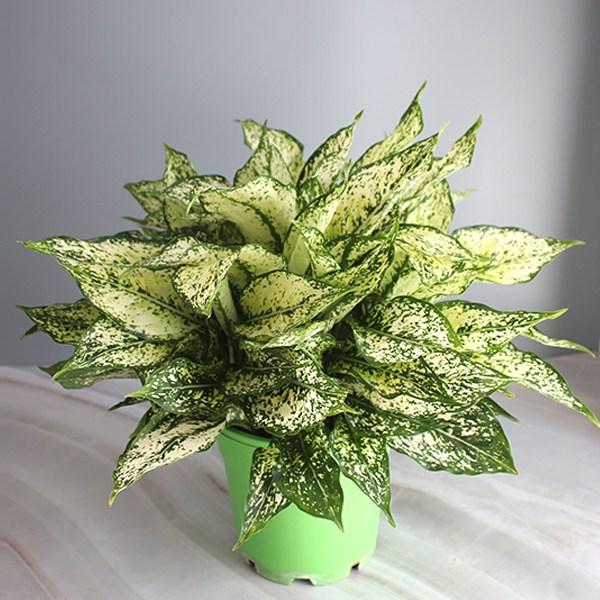 [모리앤]공기정화식물 스노우사파이어 대품