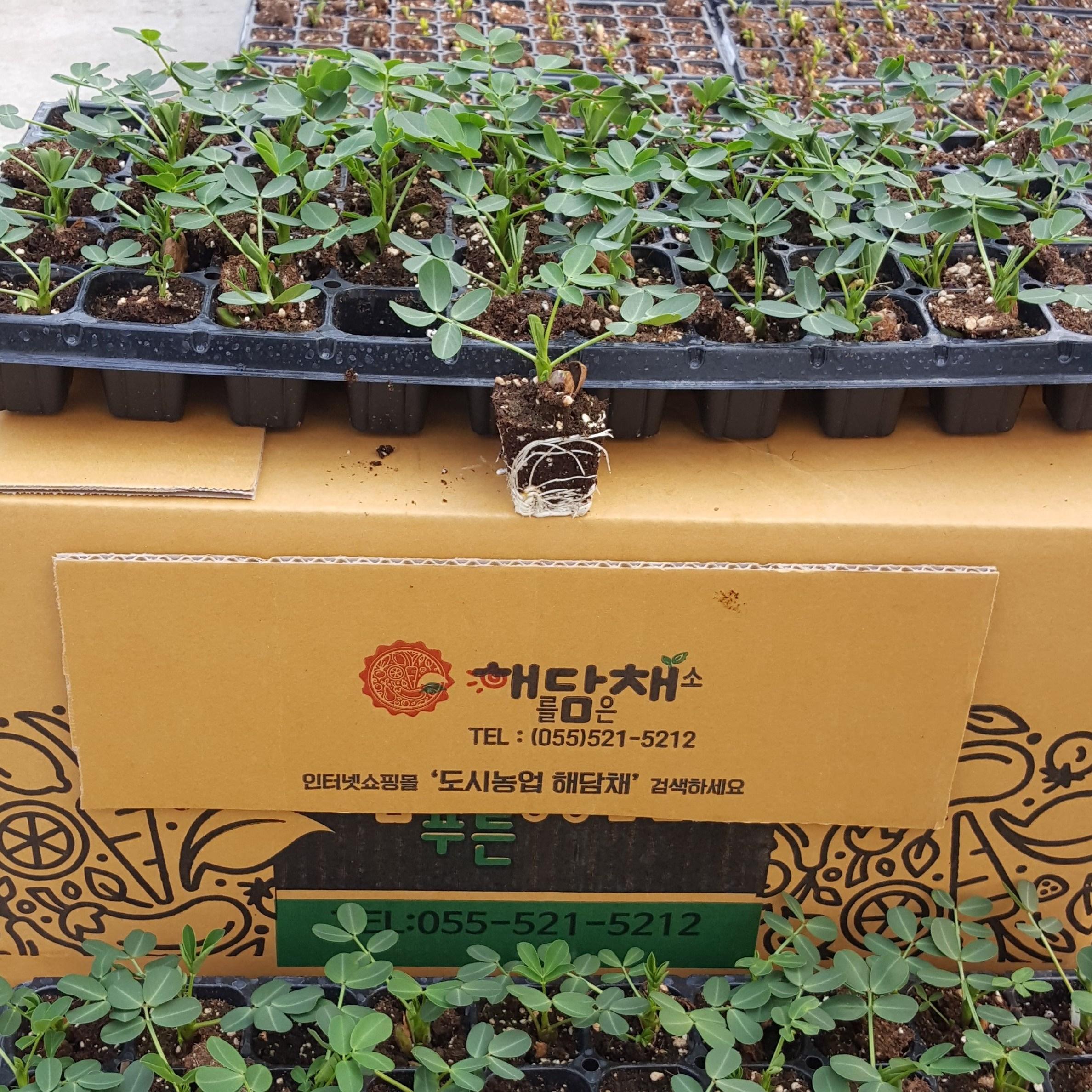 땅콩모종10포기