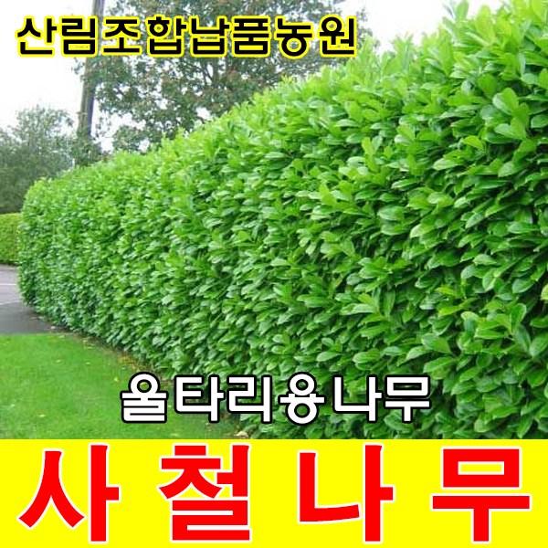 라라런던농원 사철나무 묘목 1m~1m40cm내외 울타리나무 정원수 조경수 관목 생울타리, 50그루