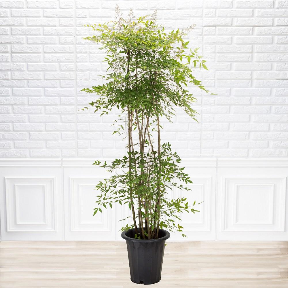 [화수분] 실내공기정화식물 남천 사계절나무 특대품 기본화분