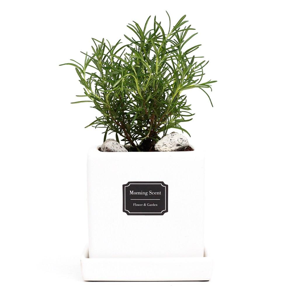 아침향기 공기정화식물 무광 사각 화분, 1개, 무광사각 화이트 로즈마리