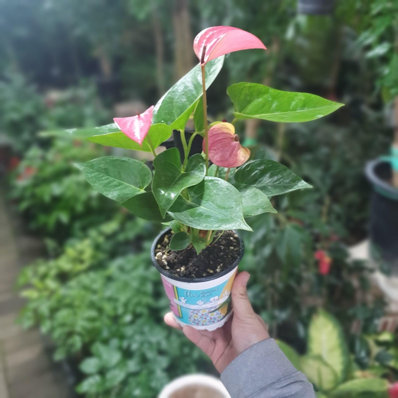 식물 공장 안스리움핑크 소중품 공기정화식물 반려식물 관엽식물 119s
