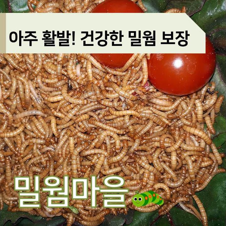 [밀웜마을] 살아있는 밀웜 파충류먹이 중 대(2-3cm), 1000마리