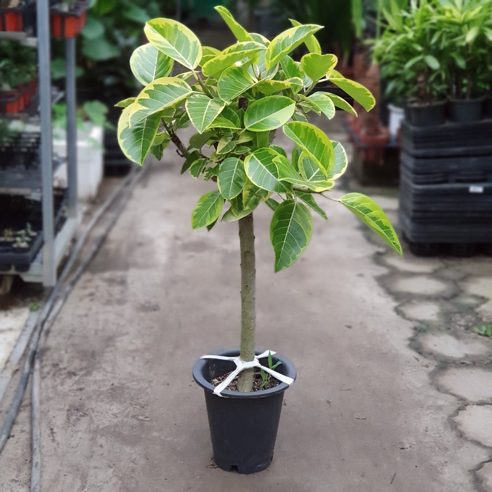 꽃백화점 뱅갈고무나무 80~120cm 399중대품 관엽식물
