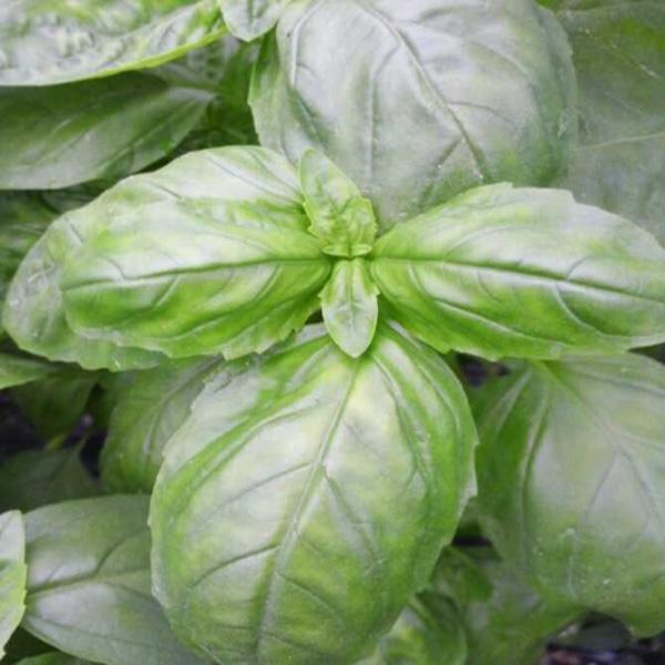 스윗바질 생잎 100g