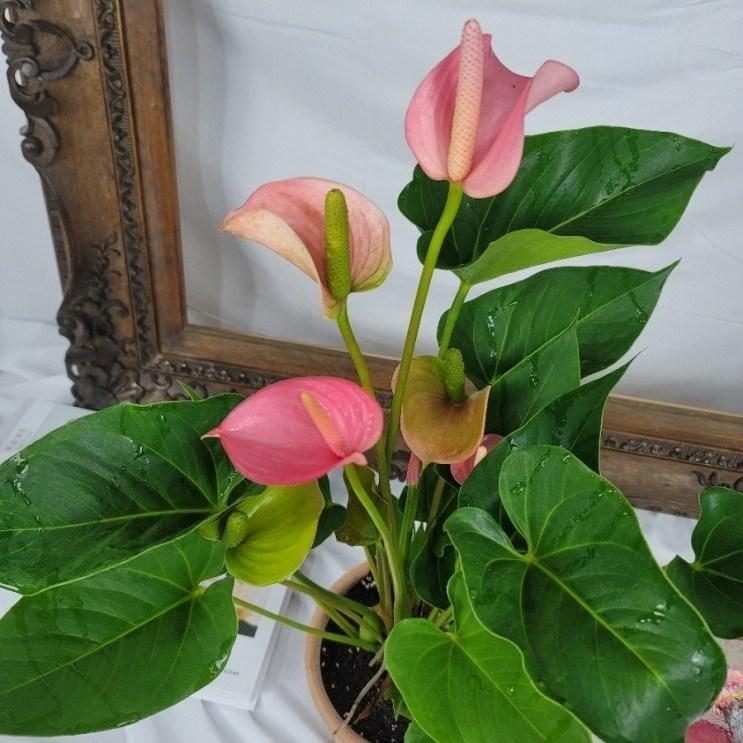 마라나타플라워 안시리움 3종 공기정화식물 플랜테리어, 핑크