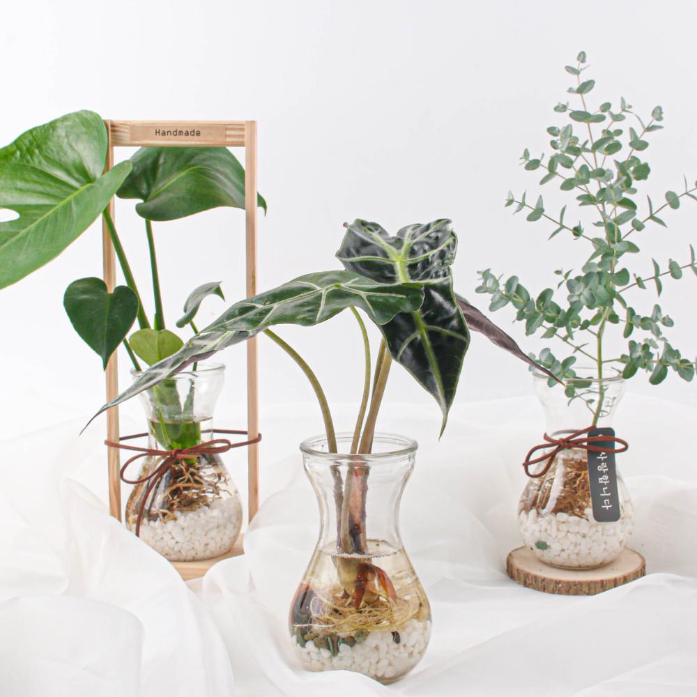 나루플랜트 수경재배식물 건강한 21종 식물 모음, 9.거북알로카시아