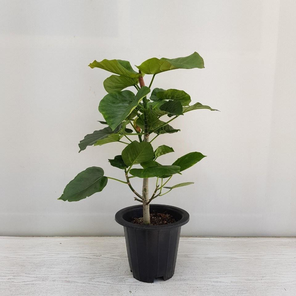 온누리농원 휘카스 움베르타 산소생성 최고의 식물