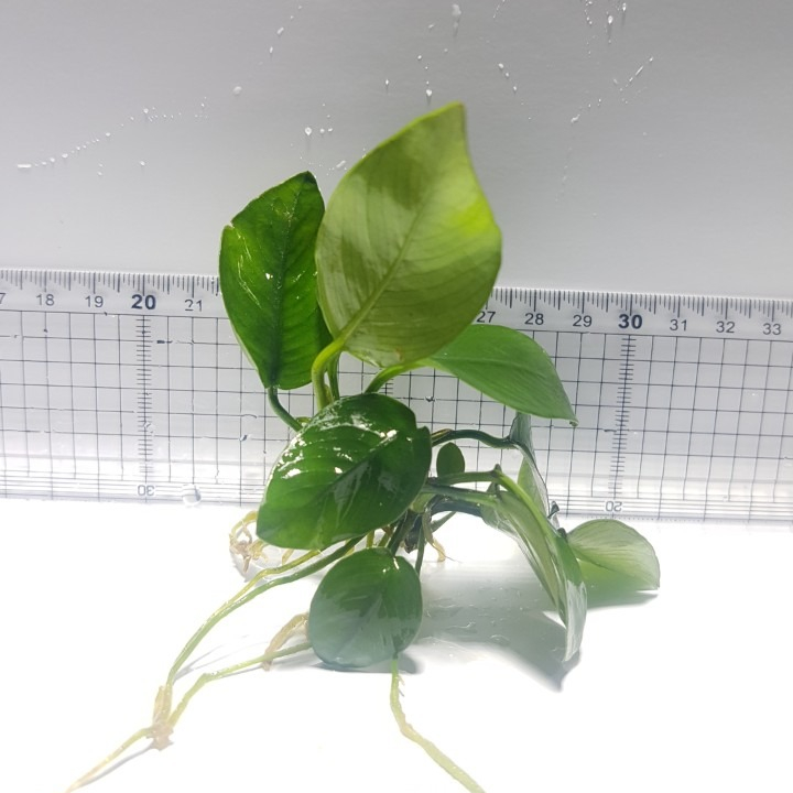 APK 아누비아스나나 한촉 (3~7잎 기준)