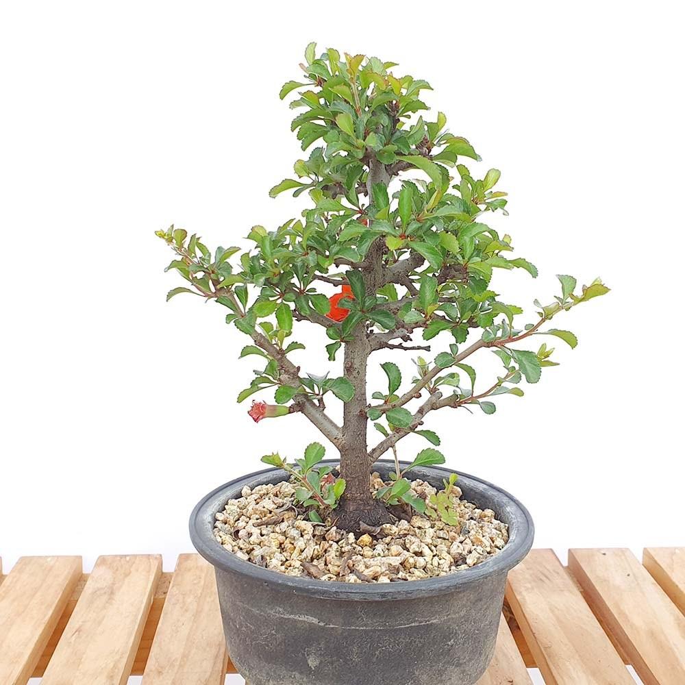 그린피아약초 장수매 소형 매화 나무 미니 책상 분재