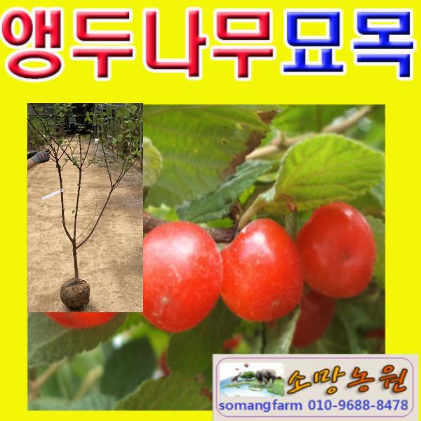 (G성모)앵두나무묘목 접목1년 3그루 앵두묘목