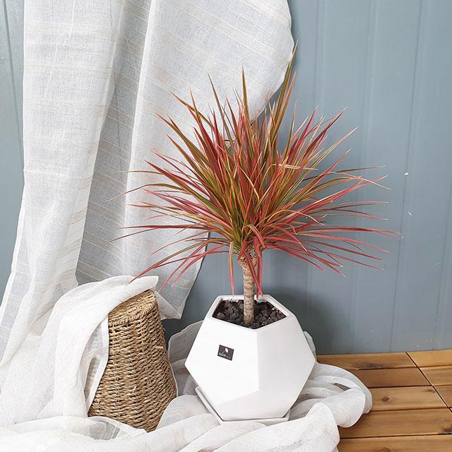 흰내 실내공기정화식물 드라세나 마지나타 레인보우 바이칼라 인테리어화분 서울 경기지역만 배송가능