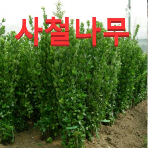 (성실농원) 사철나무 묘목 키100센치 8그루