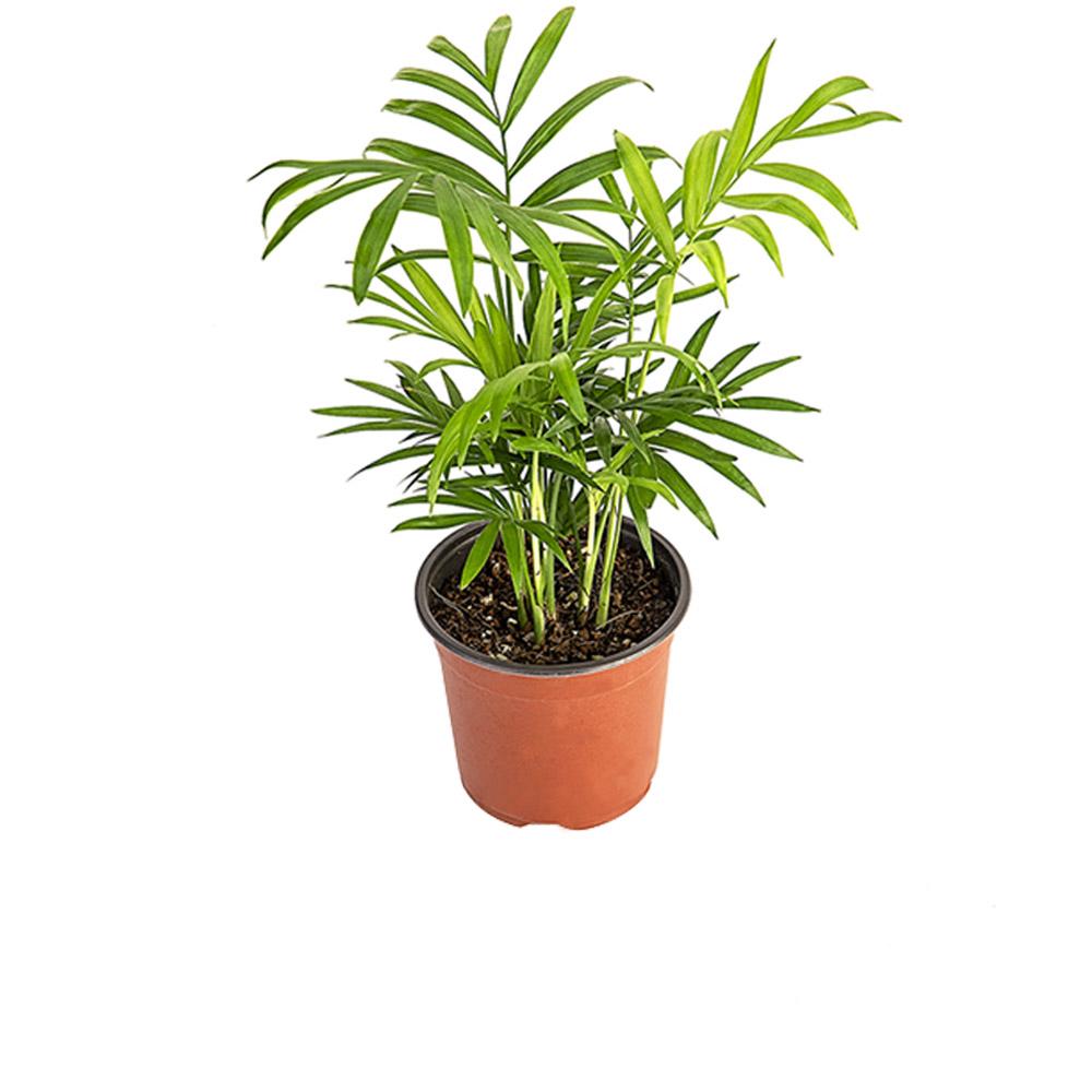 그린테라피 실내공기정화식물 관엽 모종 미세먼지제거, 테이블 야자
