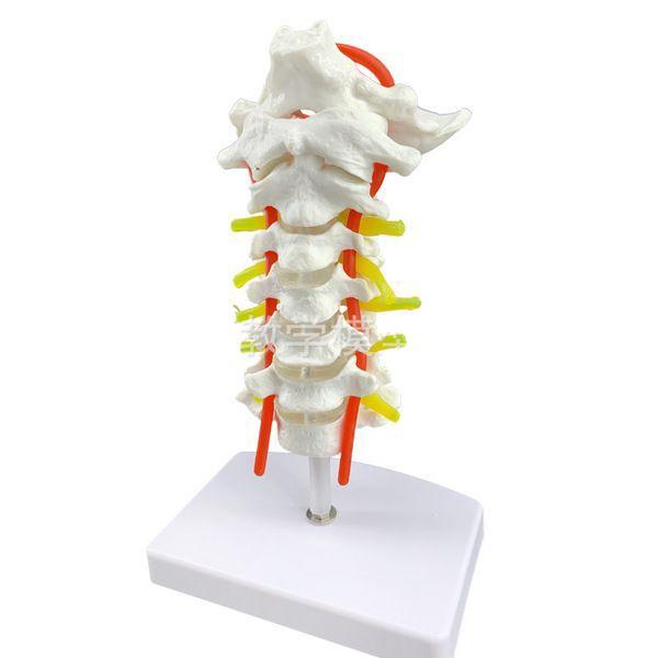인체 허리 경추 경동맥 뼈 척추 해부도 교육 모형, 사진상품 (POP 4847864217)