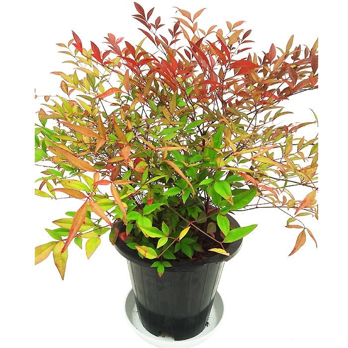 꽃집아가씨 중대형 공기정화식물50종, 남천