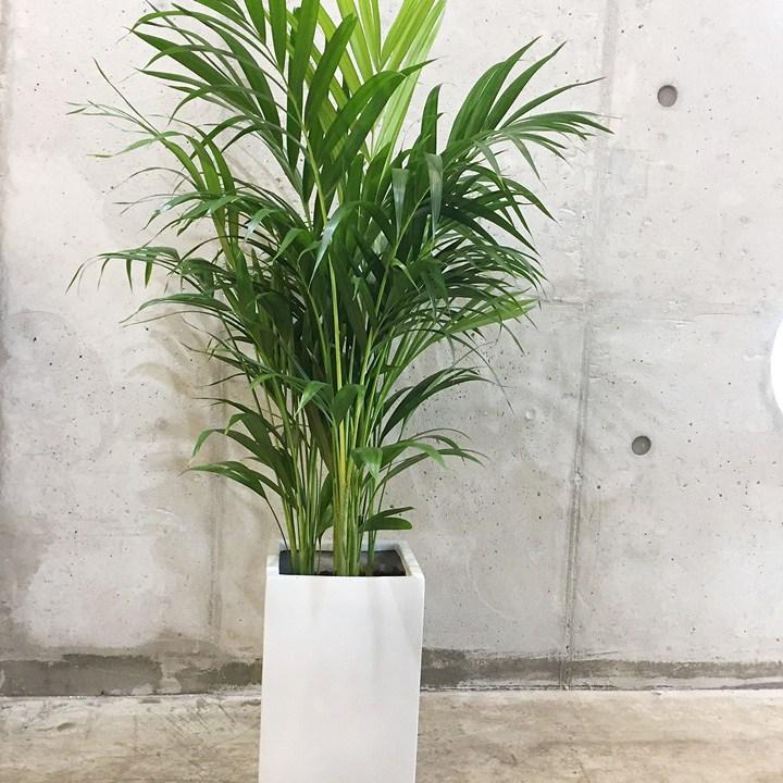 [목요일의 식물] 아레카야자 마블화분 세트 서울 및 경기 일부 배송, 100개, 화이트