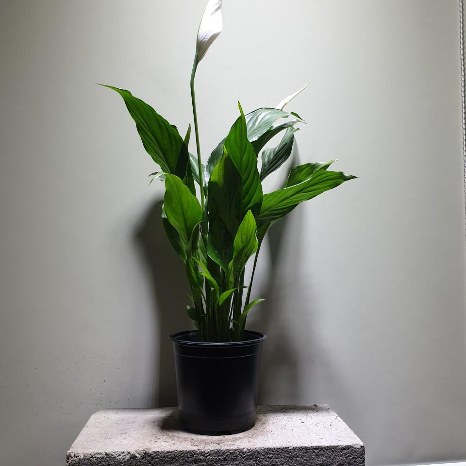꽃백화점 스파트필름 중품 공기정화식물 45~60cm 69
