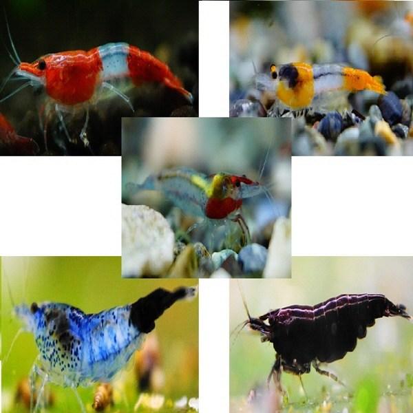 [하비아쿠아] 생이새우 5종세트 파트2. 5마리 - 관상용새우, 1개