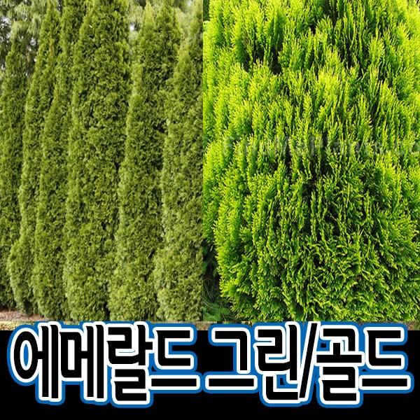 순희농장 에메랄드골드 에메랄드부시, 1개, 에메랄드그린(35cm)포트