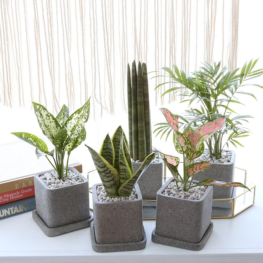 루체 화분 모음 공기정화식물 10종, 스노우 사파이어