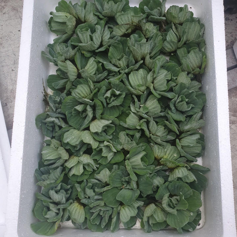 식물 공장 20개 식물도매 대량구매 물배추 수생식물 부레옥잠 소품 공기정화식물 반려식물 관엽식물 129s