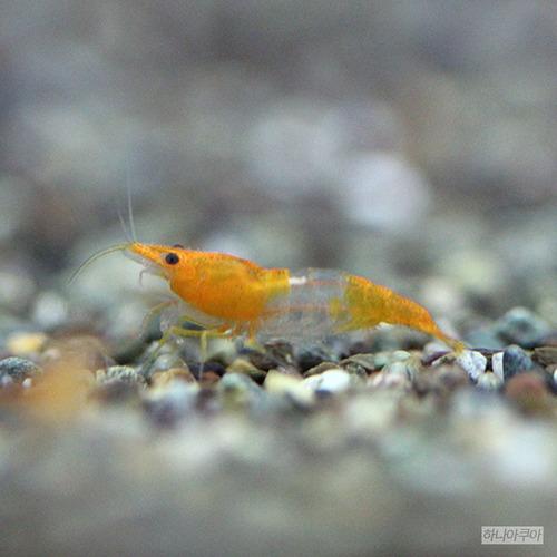 [관상용 새우-생이과] 오렌지 릴리 새우 ( 10 마리 ), 10마리