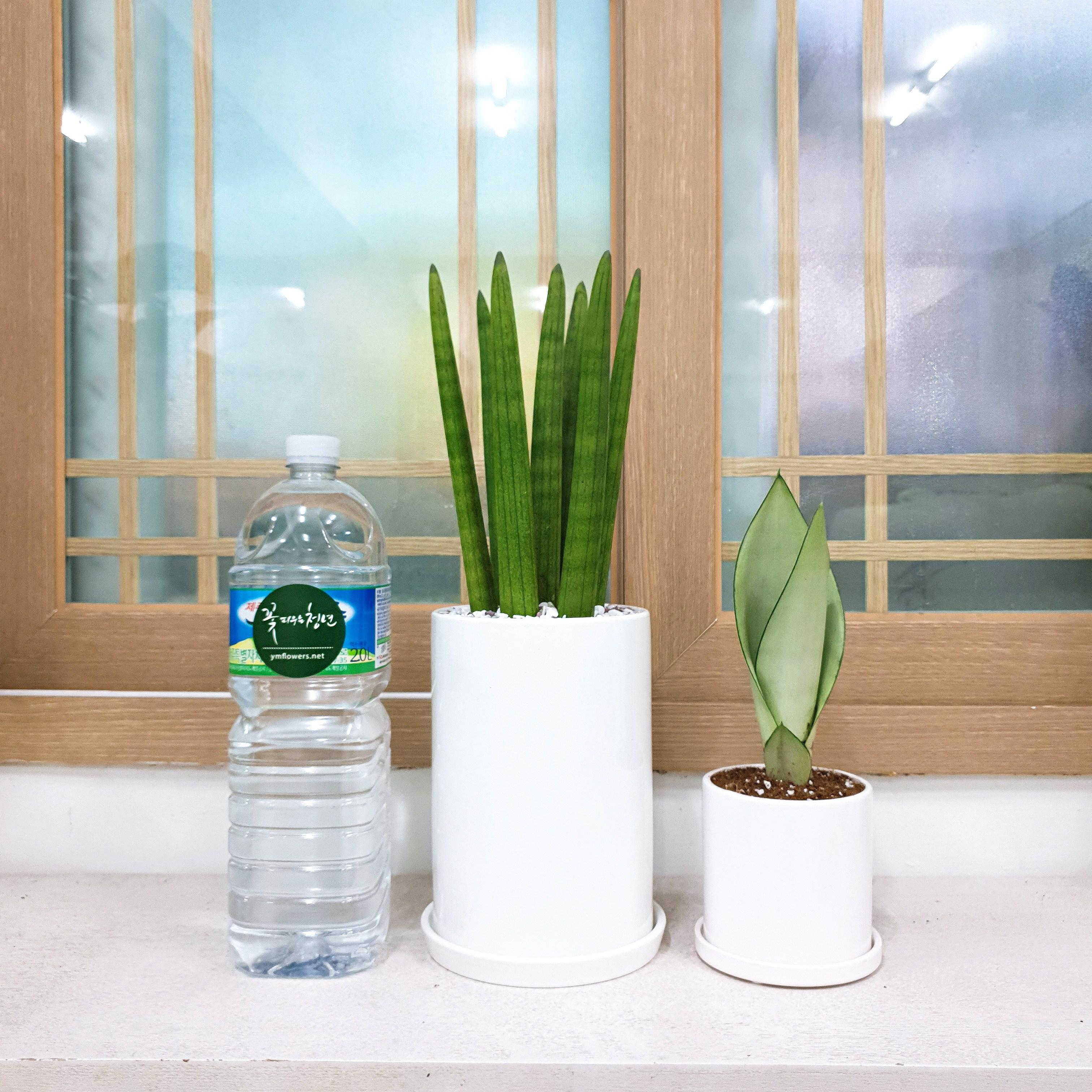 꽃피우는청년 실내공기정화식물 중형 화이트 화분(원형), 스투키