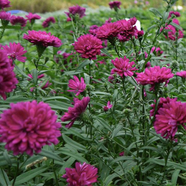 복남이네야생화 겹아스타-꽃자주 [4포트] (10cm포트 여름 가을꽃 아스타 모종)