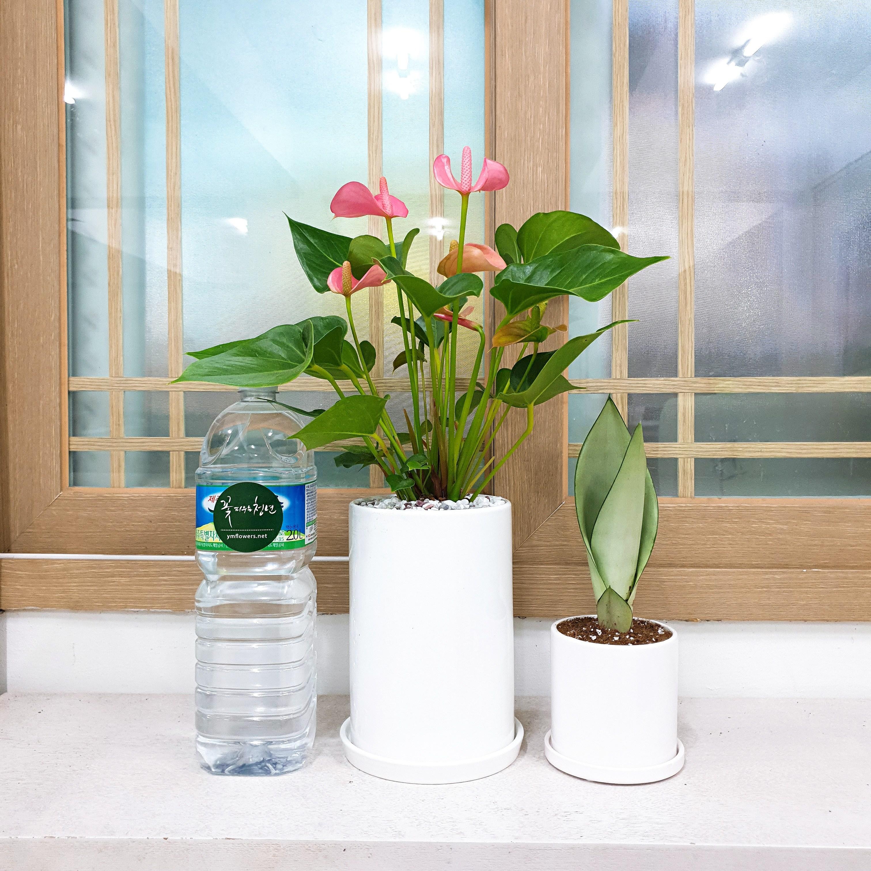 꽃피우는청년 실내공기정화식물 중형 화이트 화분(원형), 안시리움