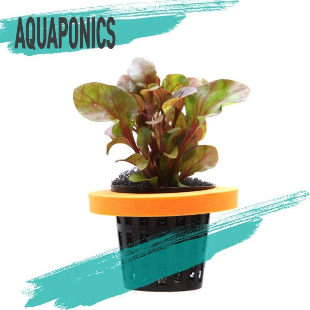 아쿠아물장군 아쿠아포닉스 망포트 레시드 레드 수반수초 수상수초 키우기쉬운수초 초보수초 수경재배, 1개