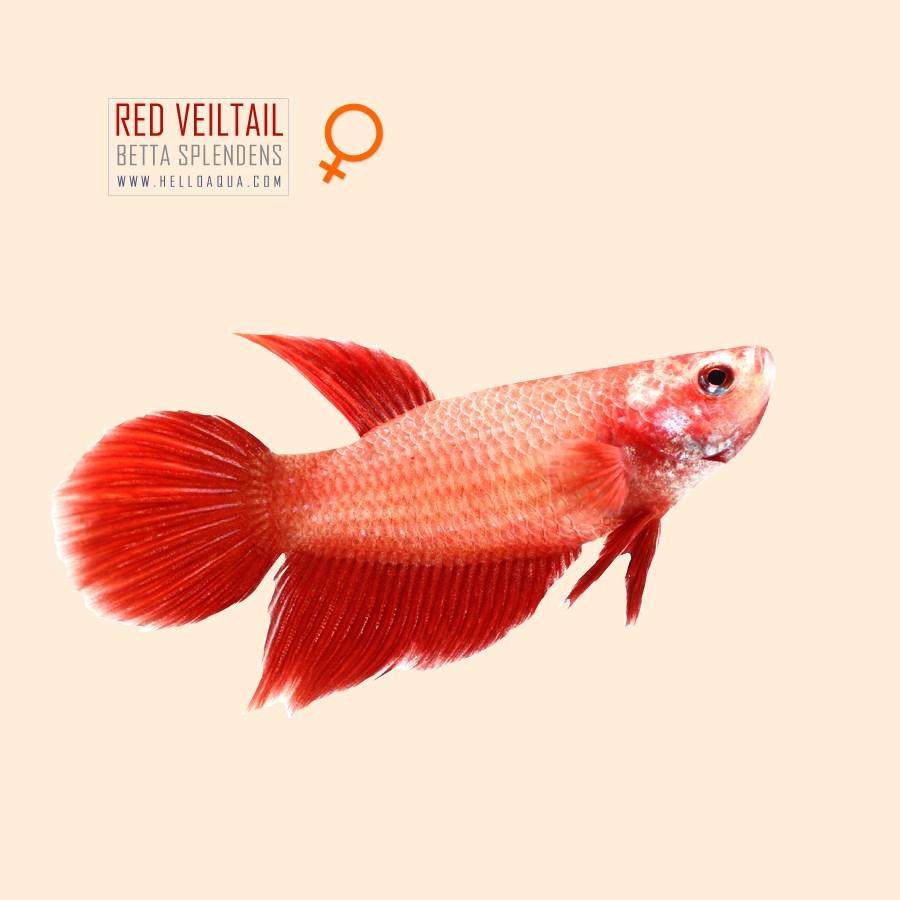 열대어) 베일베타 레드색 암컷 (키우기쉬운물고기 초보자용관상어)