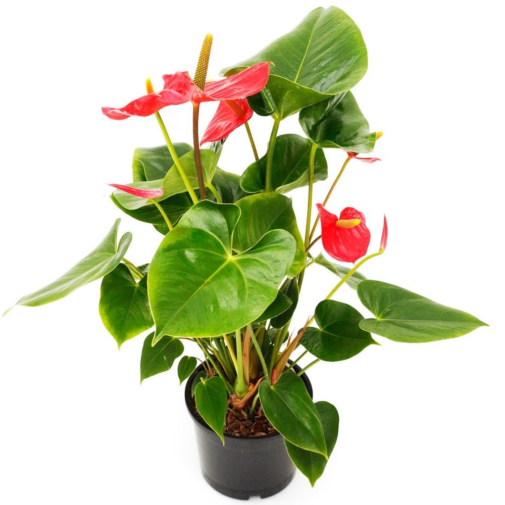 아침향기 공기정화식물 중형 대형 화분, (중형) 안시리움, 1개