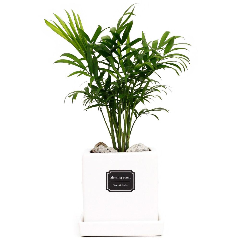 아침향기 공기정화식물 무광 사각 화분, 1개, 무광사각 화이트 테이블야자
