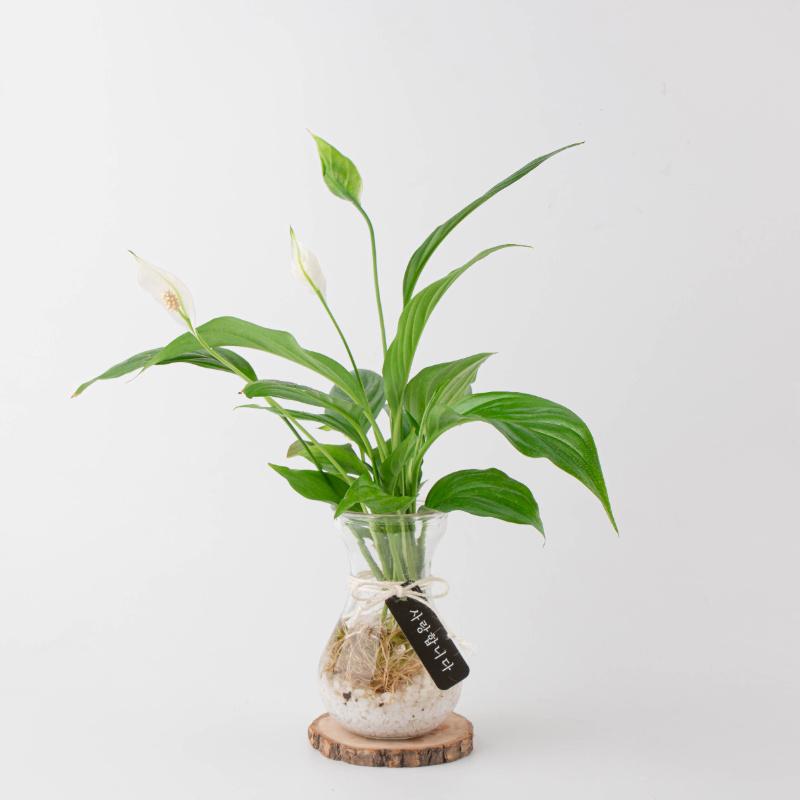 나루플랜트 수경재배식물 건강한 21종 식물 모음, 17.스파트필름
