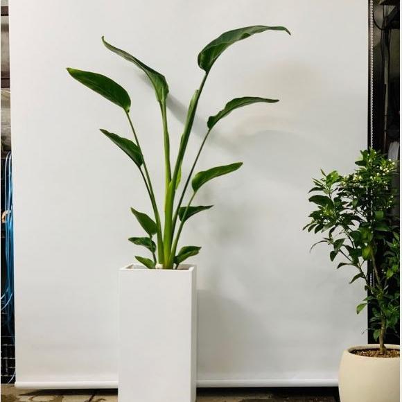 트리에이지 실내공기정화식물 극락조 여인초 높이약 170cm시멘트화분
