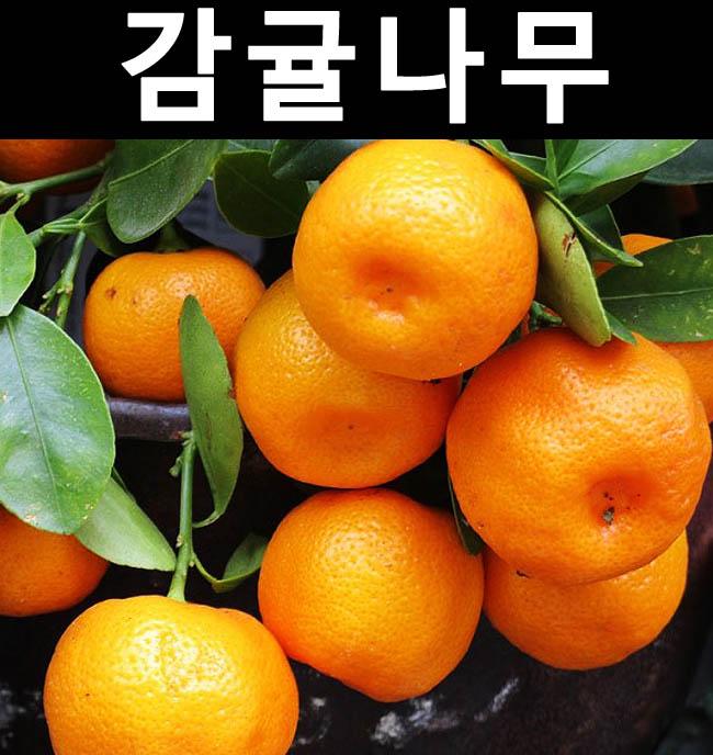 귤나무(감귤) 결실주 7치화분/나무 묘목/과실수/유실수