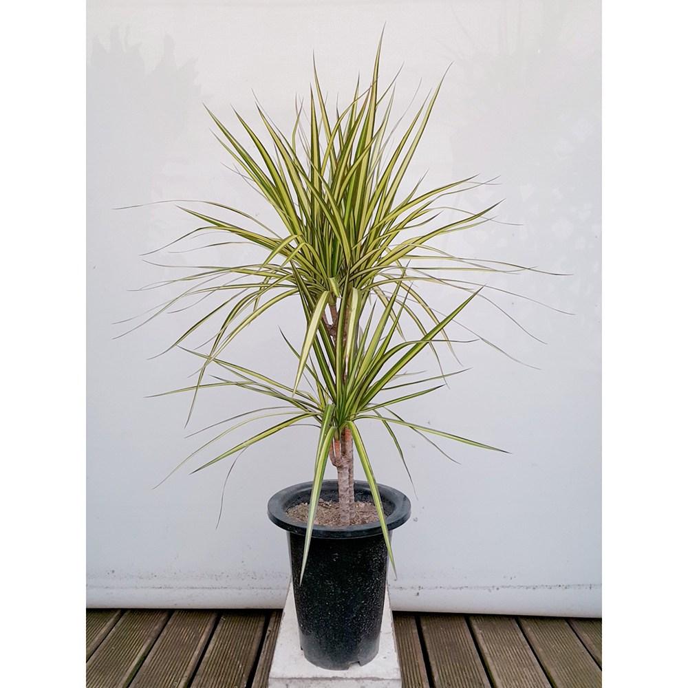도자기랑나무랑 실내식물 포트 인테리어 감성식물 화초 야생화, 1개, 황금마지나타 럭키(포트)