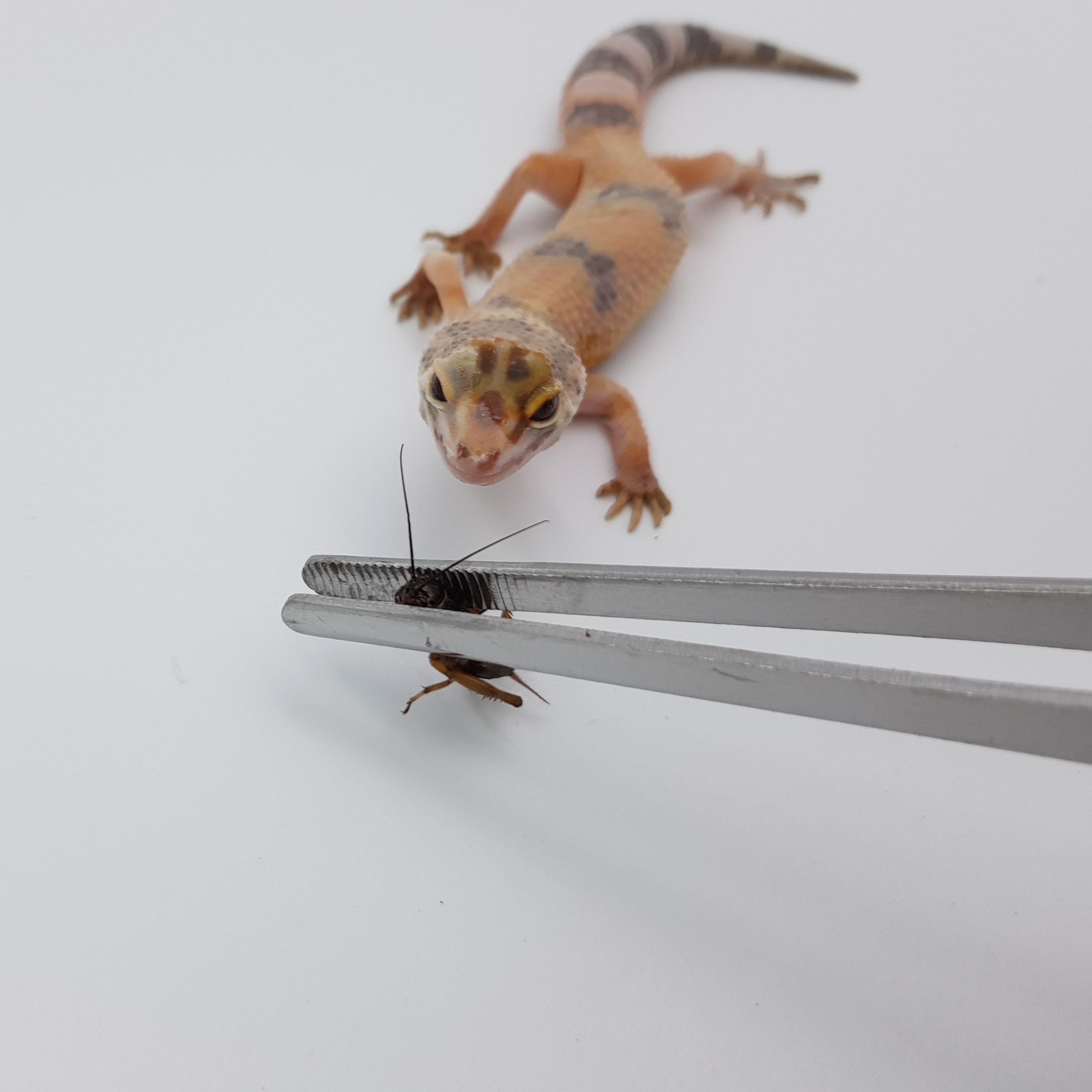 로얄라미 귀뚜라미 생물 소사이즈 간식, 200마리