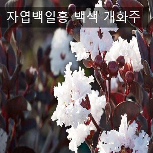 누리원예조경 자엽백일홍( 백색 )개화주