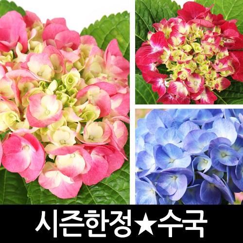 갑조네 수국 화분 꽃화분 생화, 수국(랜덤)