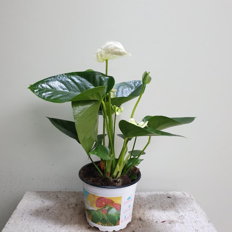 [나인에잇틴]안스리움 화이트 중품 공기정화식물