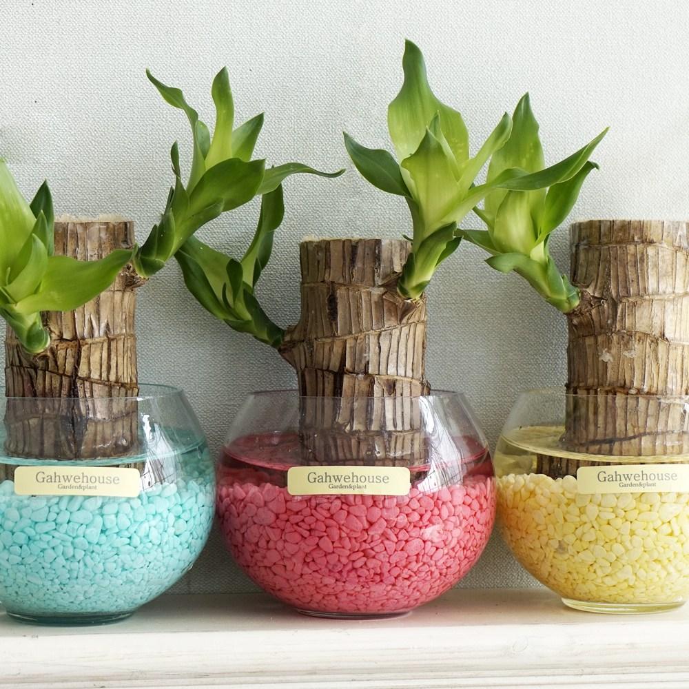 가훼하우스 유리방울행운목 수경재배 실내공기정화 식물 화분, 빨강, 999개