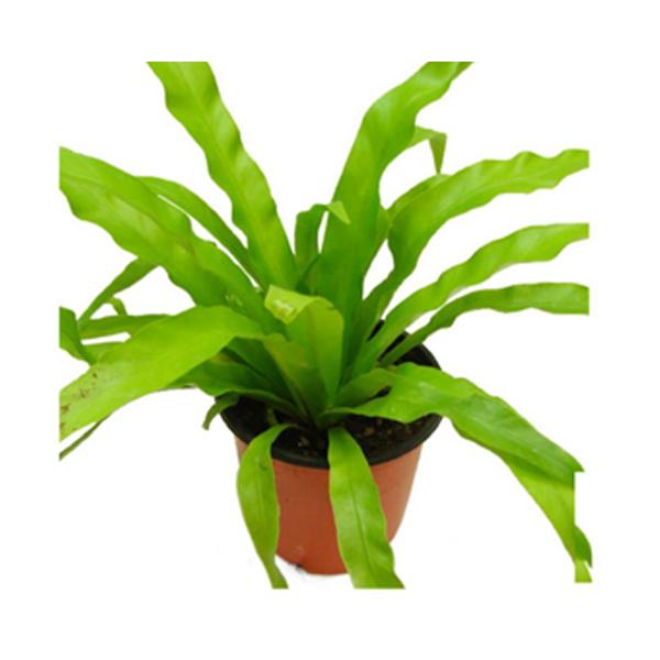 그린플랜트 공기정화식물 아비스 1+1