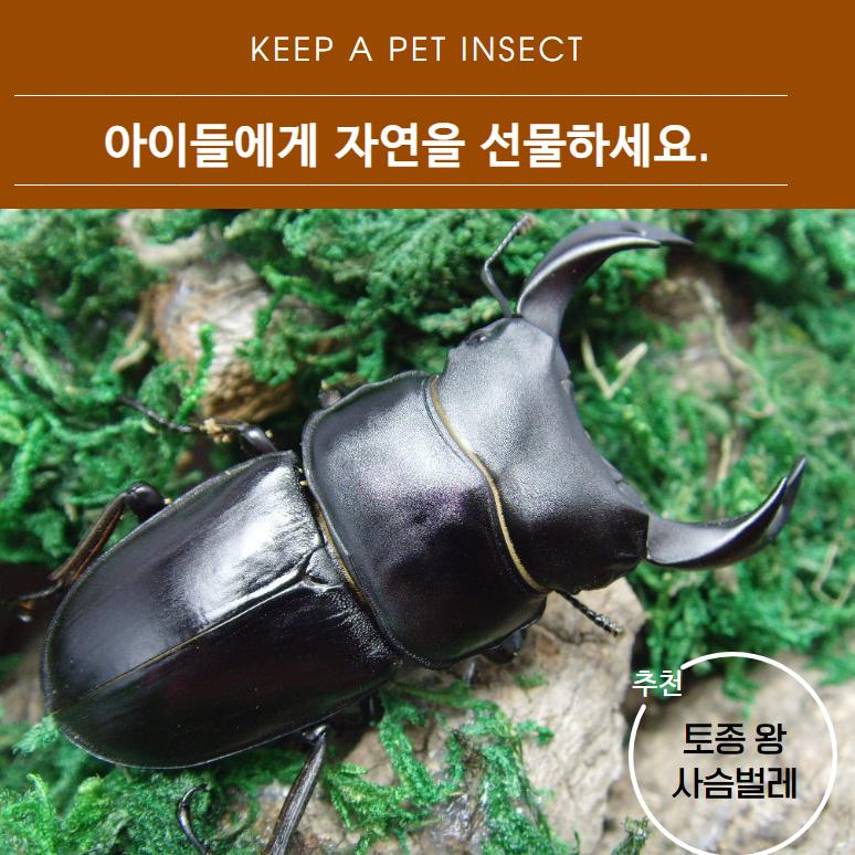 벅스피드 토종 왕사슴벌레 대형 한쌍(수컷 60mm이상) _ 무료배송_ 보온포장