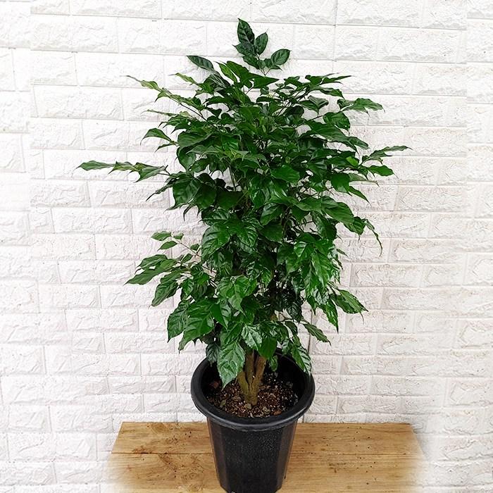 하늘농원 대박나무 녹보수 공기정화식물 (120cm)