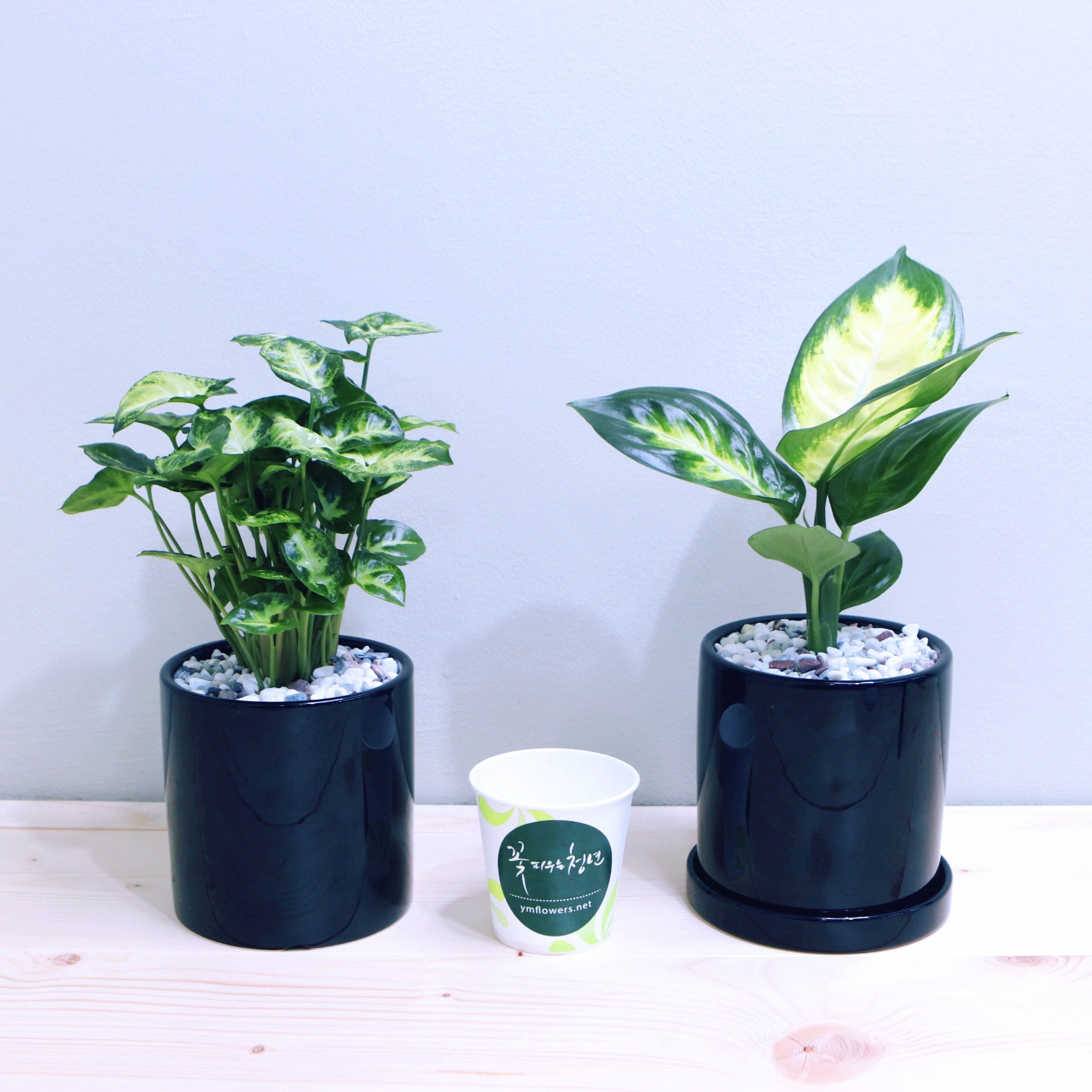 꽃피우는청년 새집증후군 제거 실내공기정화식물 2종 세트 (마리안느 싱고니움), 유광 원형 블랙