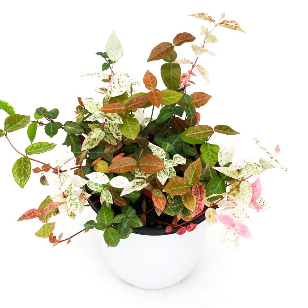 아침향기 공기정화식물 중형 대형 화분, (중형) 초설, 1개